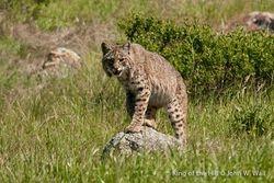 Bobcat/USA
